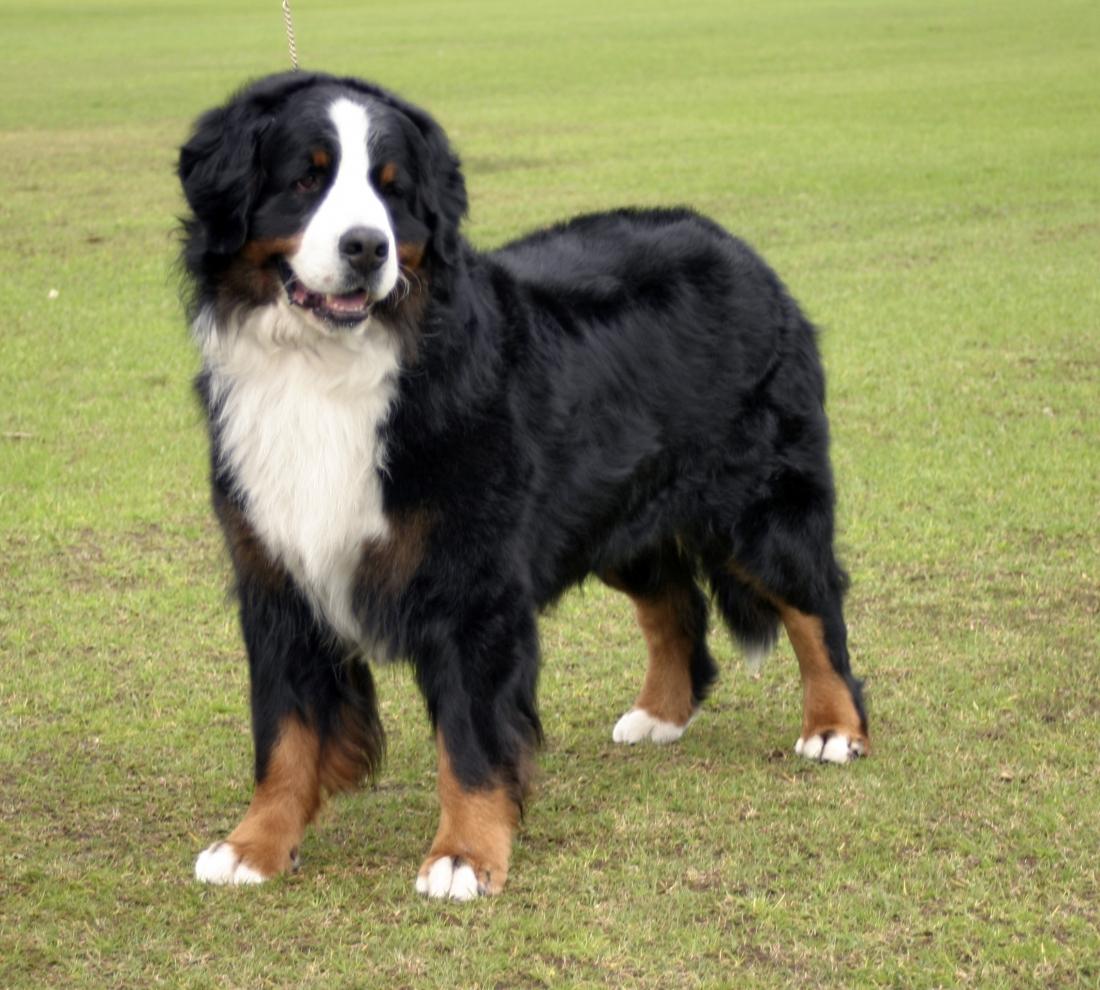 Bernský salašnícky pes (Berner Sennenhund)  ea11bf53fed